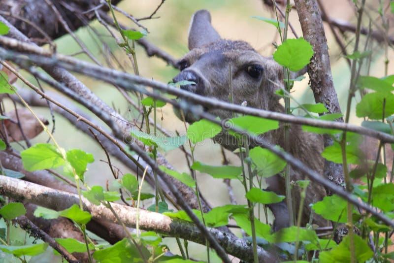 Shiloh Ranch Regional California-herten Het park omvat eiken bossen, bossen van gemengd evergreens stock afbeelding