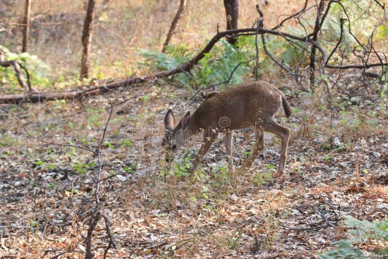 Shiloh Ranch Regional California - herten Het park omvat eiken bossen, bossen van gemengd evergreens stock foto