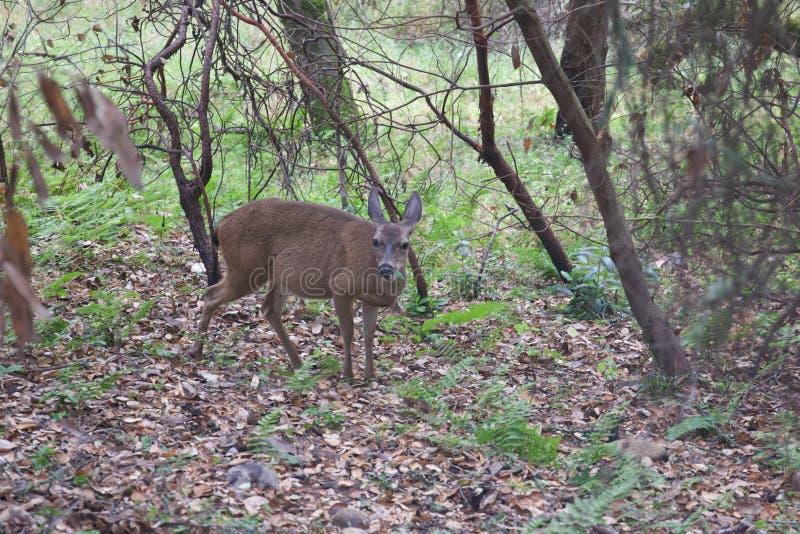 Shiloh Ranch Regional California - hjort Parkera inkluderar ekskogsmarker, skogar av blandade evergreen royaltyfria foton