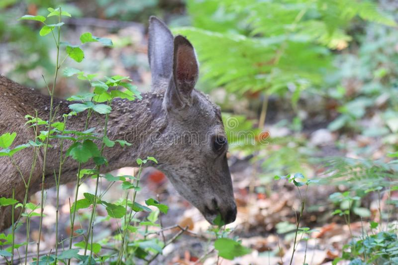 Shiloh Ranch Regional California - hjort Parkera inkluderar ekskogsmarker, skogar av blandade evergreen royaltyfri fotografi