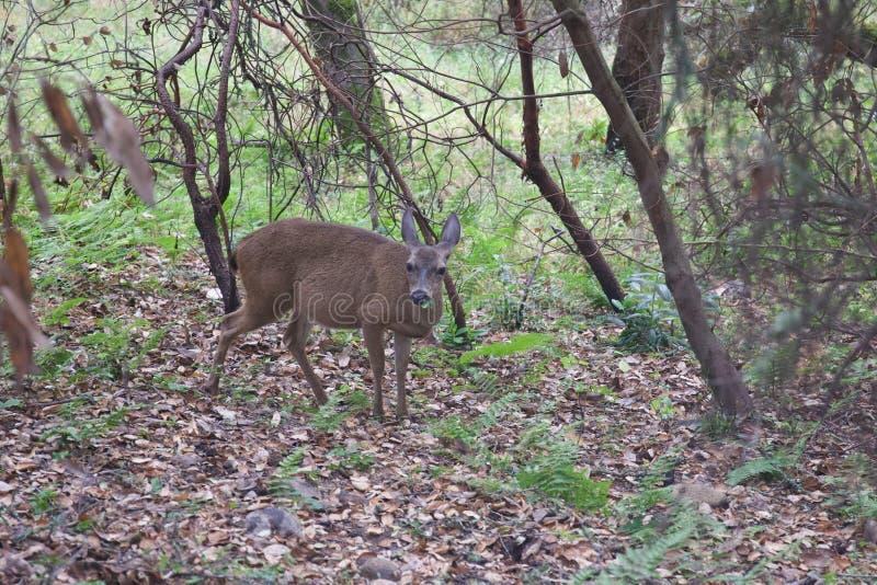 Shiloh Ranch Regional California - hjort Parkera inkluderar ekskogsmarker, skogar av blandade evergreen royaltyfria bilder