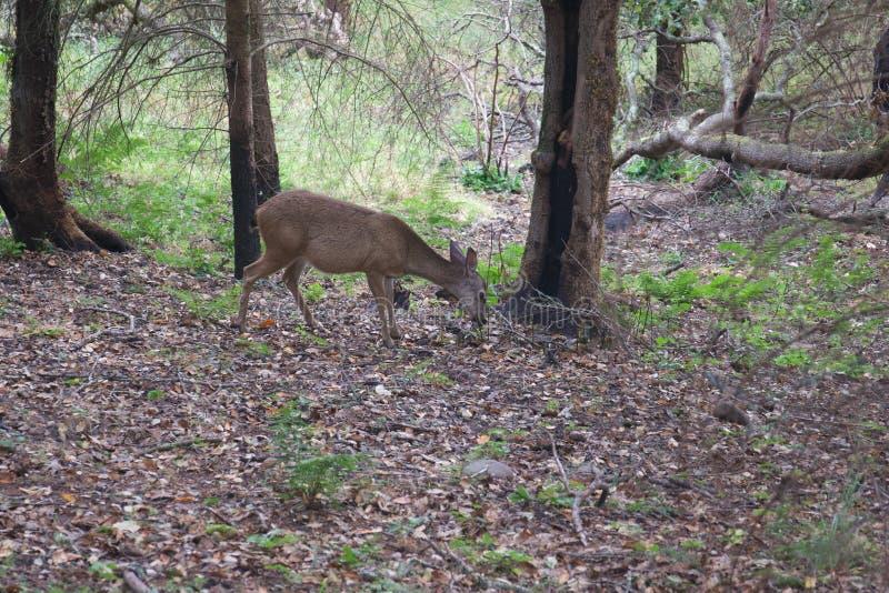 Shiloh Ranch Regional California - hjort Parkera inkluderar ekskogsmarker, skogar av blandade evergreen arkivbilder