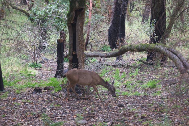Shiloh Ranch Regional California - hjort Parkera inkluderar ekskogsmarker, skogar av blandade evergreen arkivbild
