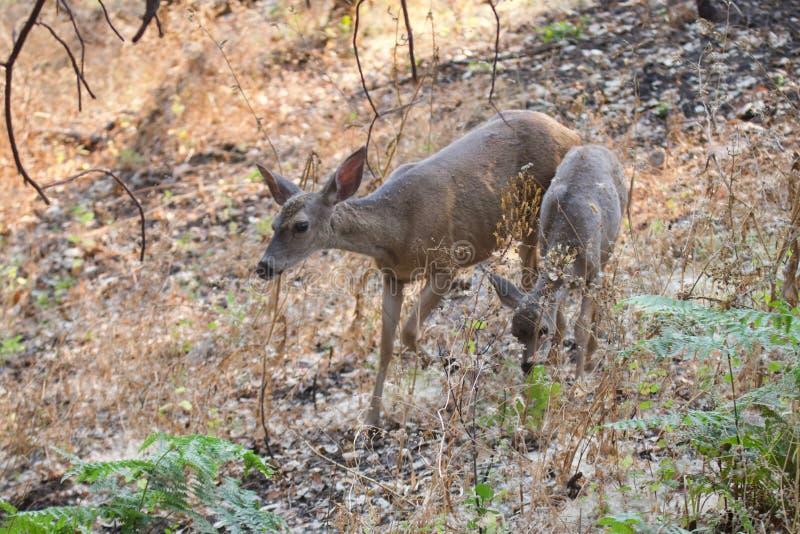Shiloh Ranch Regional California - hjort Parkera inkluderar ekskogsmarker, skogar av blandade evergreen royaltyfri foto