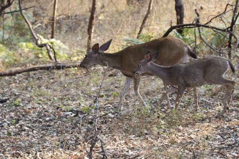 Shiloh Ranch Regional California - hjort Parkera inkluderar ekskogsmarker, skogar av blandade evergreen royaltyfri bild