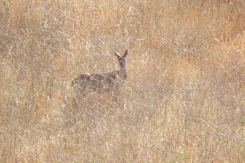 Shiloh Ranch Regional California hjortar Parkera inkluderar ekskogsmarker, skogar av blandade evergreen arkivbilder