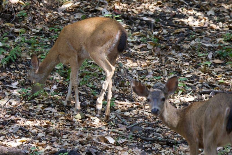 Shiloh Ranch Regional California hjortar Parkera inkluderar ekskogsmarker, skogar av blandade evergreen royaltyfri foto