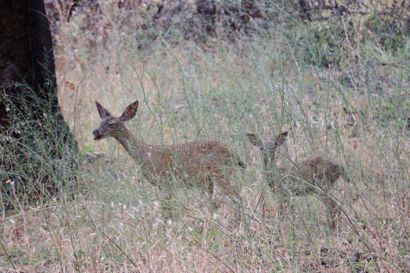Shiloh Ranch Regional California hjortar Parkera inkluderar ekskogsmarker, skogar av blandade evergreen royaltyfri bild