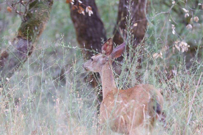 Shiloh Ranch Regional California hjortar Parkera inkluderar ekskogsmarker, skogar av blandade evergreen royaltyfria bilder