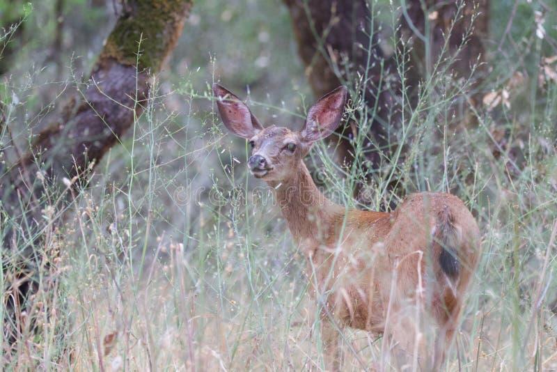 Shiloh Ranch Regional California hjortar Parkera inkluderar ekskogsmarker, skogar av blandade evergreen arkivbild