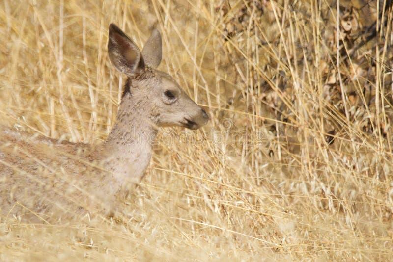 Shiloh Ranch Regional California hjortar Parkera inkluderar ekskogsmarker, skogar av blandade evergreen royaltyfria foton