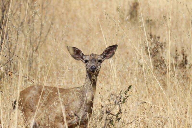 Shiloh Ranch Regional California hjortar Parkera inkluderar ekskogsmarker, skogar av blandade evergreen arkivfoton