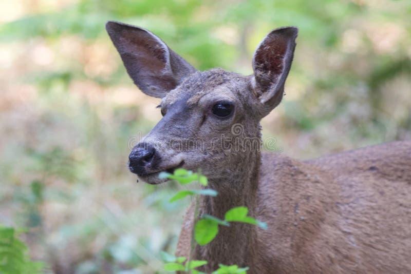 Shiloh Ranch Regional California hjortar Parkera inkluderar ekskogsmarker, skogar av blandade evergreen royaltyfri fotografi