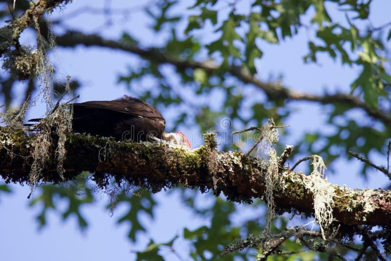 Shiloh Ranch Regional California Woodpecker royalty-vrije stock foto