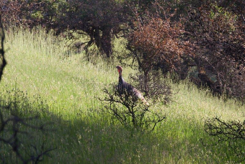 Shiloh Ranch Regional Park, Californië - wild Turkije stock foto