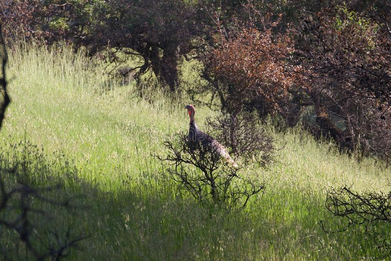 Shiloh Ranch Regional Park, California - el pavo salvaje foto de archivo