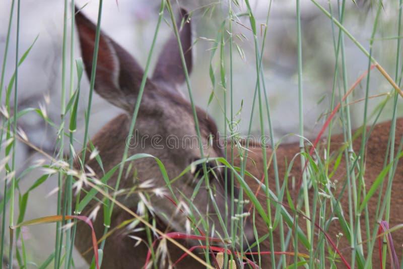 Shiloh Ranch Regional Park Kalifornien hjort arkivfoto