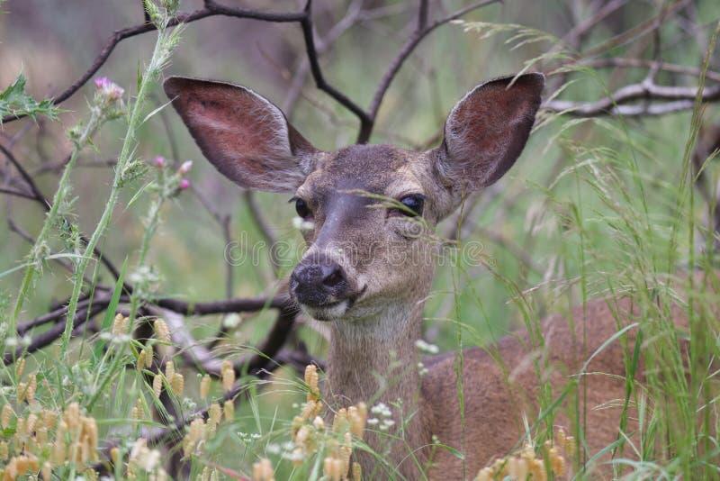 Shiloh Ranch Regional Park Kalifornien hjort royaltyfri fotografi