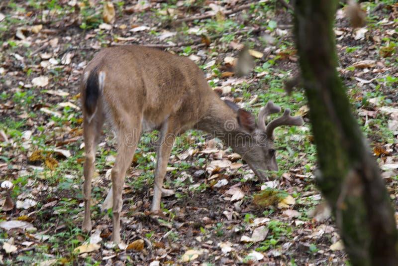 Shiloh Ranch Regional Park Kalifornien hjort arkivfoton