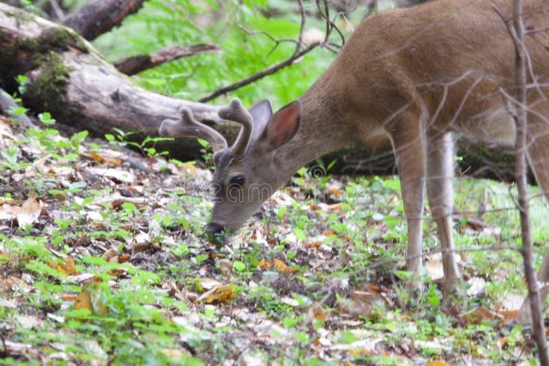Shiloh Ranch Regional Park Kalifornien hjort arkivbild