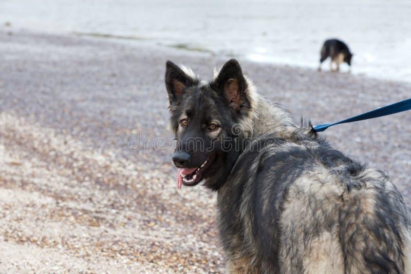 Shiloh Schäferhund stockbilder
