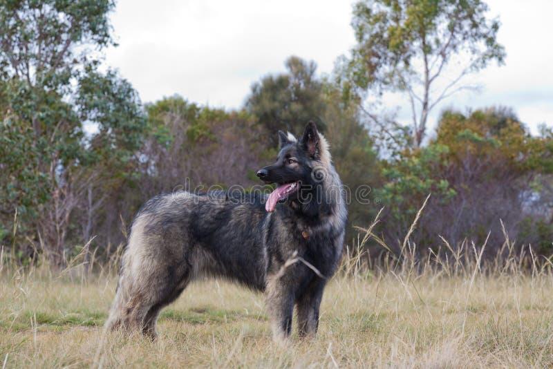 Shiloh Schäferhund stockbild