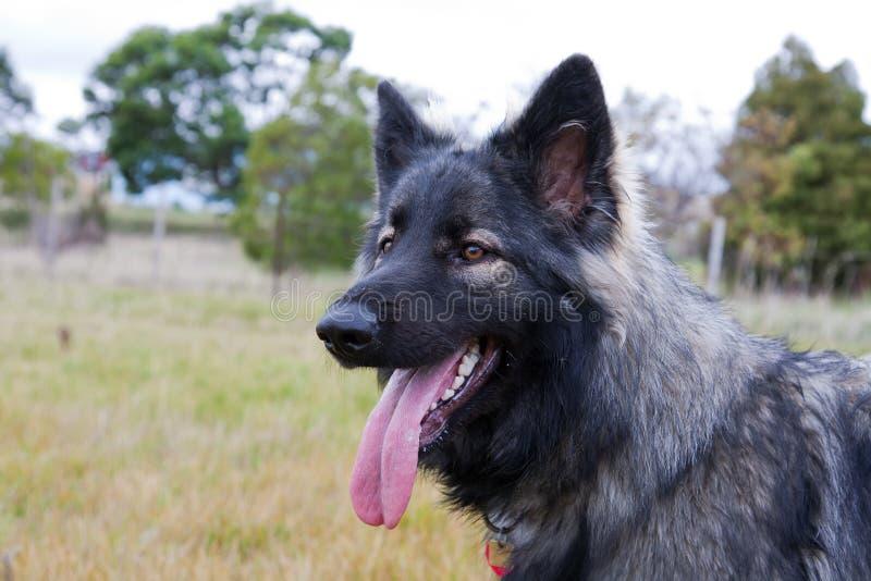 Shiloh Schäferhundhund in der Wiese stockbilder