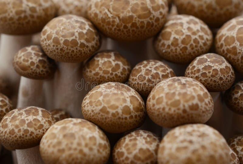 Shimeji cresce rapidamente as variedades marrons isoladas no fundo branco imagens de stock royalty free