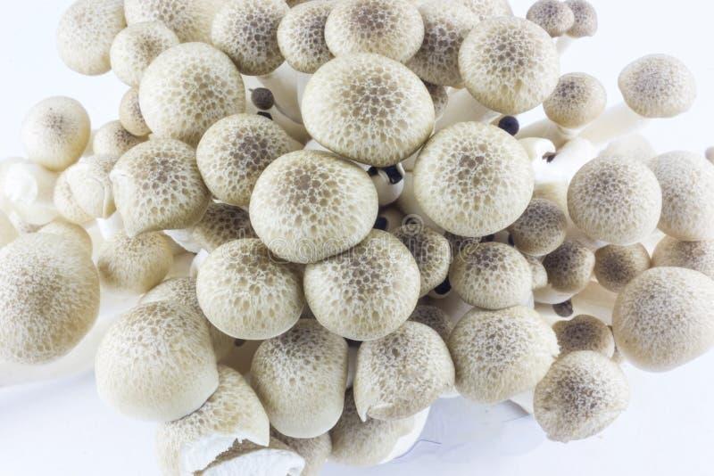 Shimeji mushrooms. Brown beech mushrooms or shimeji mushrooms on white background royalty free stock photography