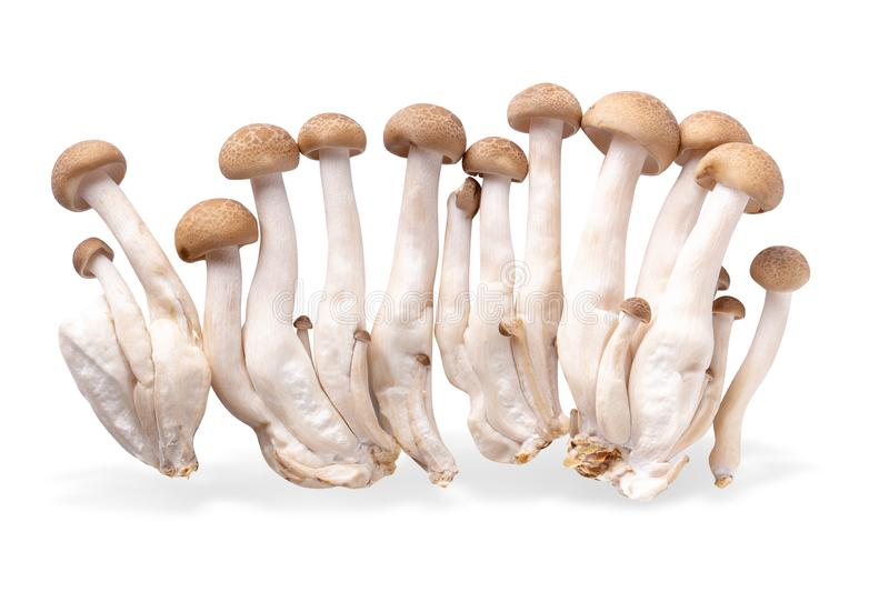 shimeji mushrooms brown varieties isolated over white background royalty free stock images