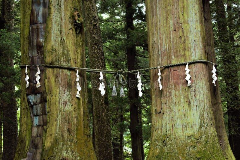 Shimenawa的实德在川口浅间号列车神道圣地,富士河口湖町,日本的一棵Yorishiro树附近 免版税库存图片