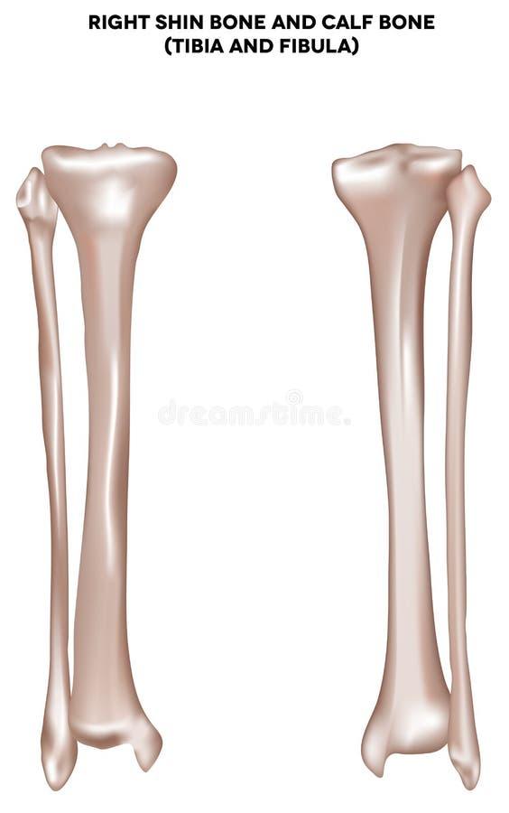 Shin bone and calf bone. Right shin bone and calf bone (tibia and fibula). Bones of the lower extremity. Detailed medical illustration. Isolated on a white royalty free illustration