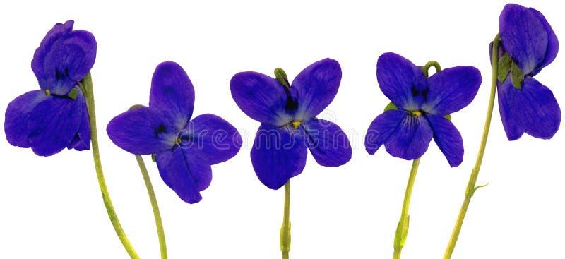ShinerBlossoms royaltyfria foton