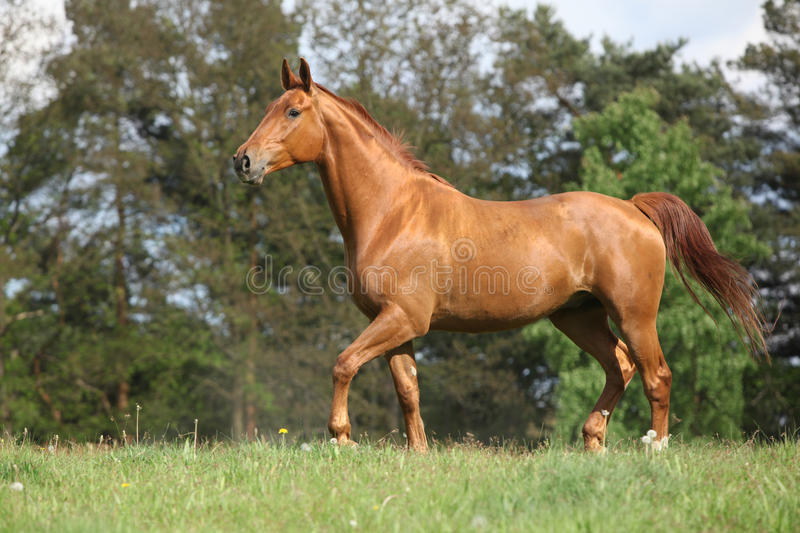 Shining chestnut horse on horizon in front of some trees stock image