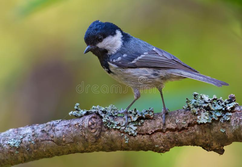 Shining Coal Tit perched on lovely lichen covered branch. Shining Coal Tit posing on densely lichen covered branch royalty free stock photo