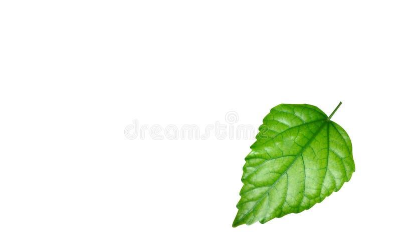 Download Shining green leaf stock image. Image of green, organic - 7262097