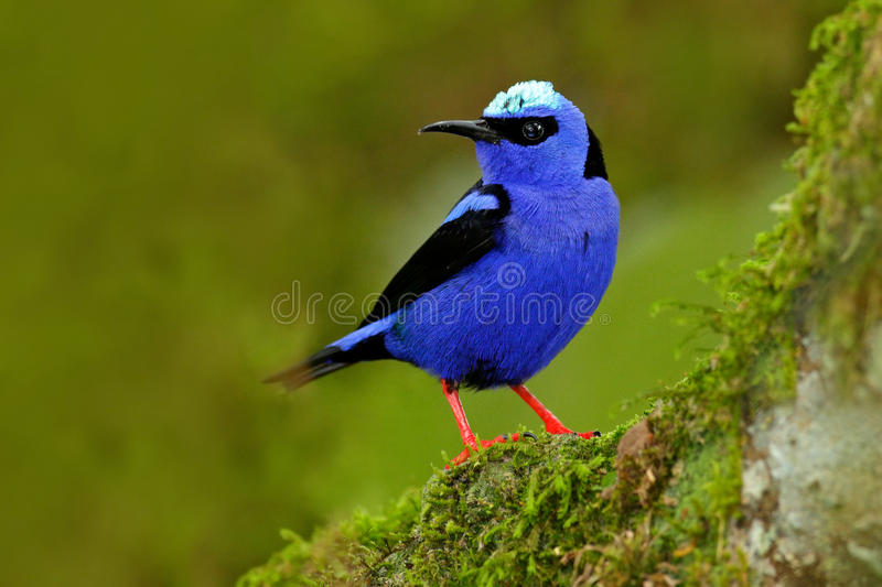 Shining Honeycreeper, Cyanerpes lucidus, exotic tropic blue bird with yellow leg from Costa Rica. Blue songbird in the nature habi. Tat royalty free stock photos
