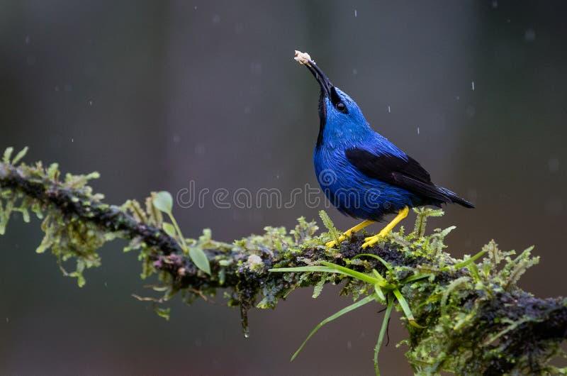 A shining honeycreeper under the rain royalty free stock photos