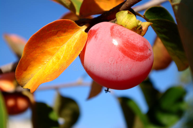 Shining persimmon on a branch. Ripe persimmon on a branch with yellow leaf at a sunny autumn day close-up stock photo