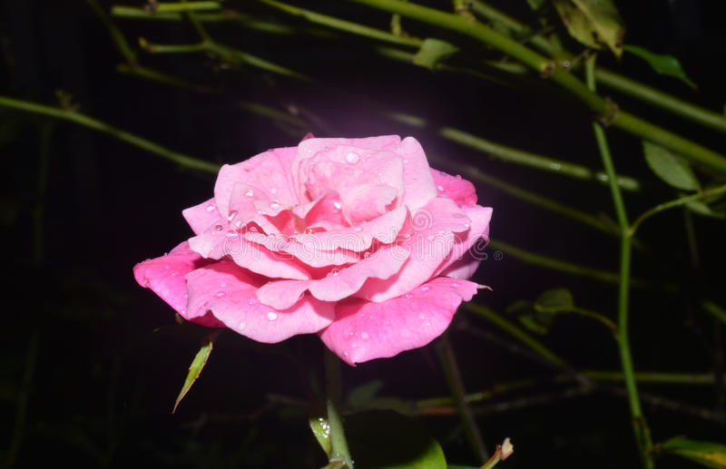 Shining rose stock image
