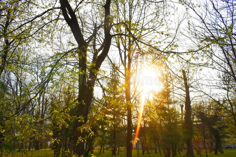 The shining sun behind branches in the park in a very beautiful spring day stock images