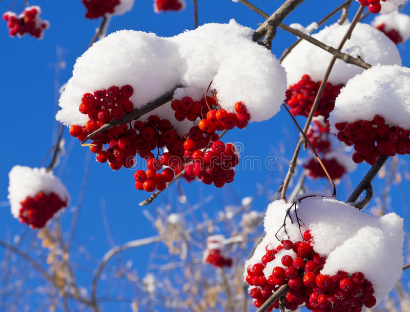 Shining in the sun red berries of mountain ash under a cap of snow royalty free stock photos