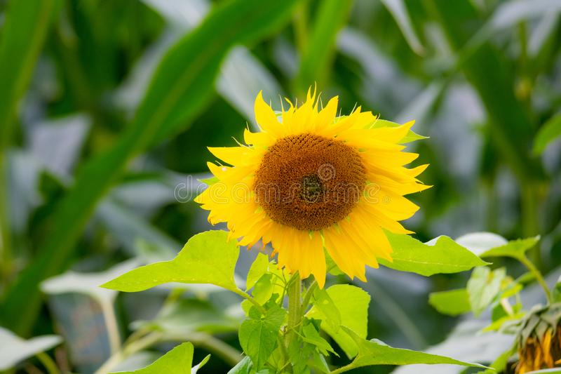 Shining sunflowers in focus  with green background. Shining  sunflowers in focus with green background royalty free stock photo