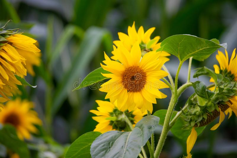Shining sunflowers in focus  with green background. Shining  sunflowers in focus with green background royalty free stock photography