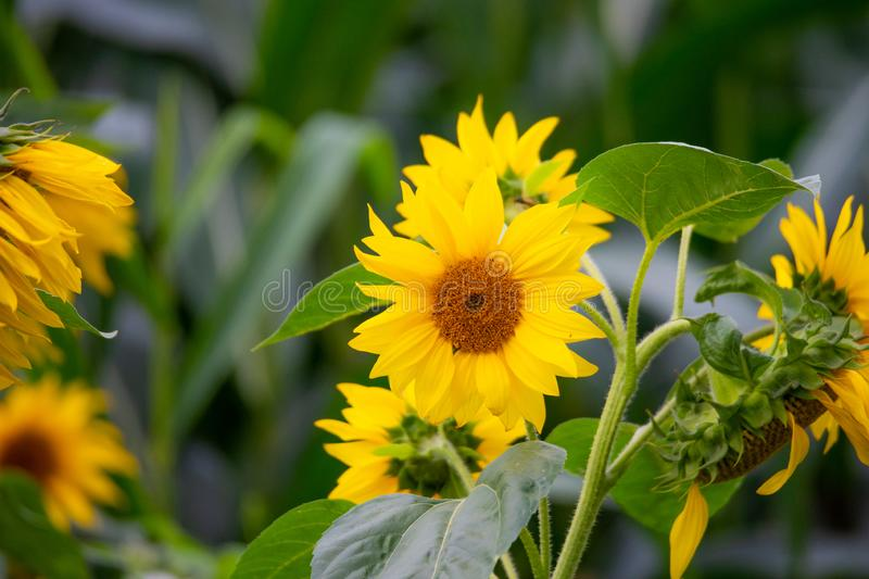 Shining sunflowers in focus  with green background. Shining  sunflowers in focus with green background stock photo