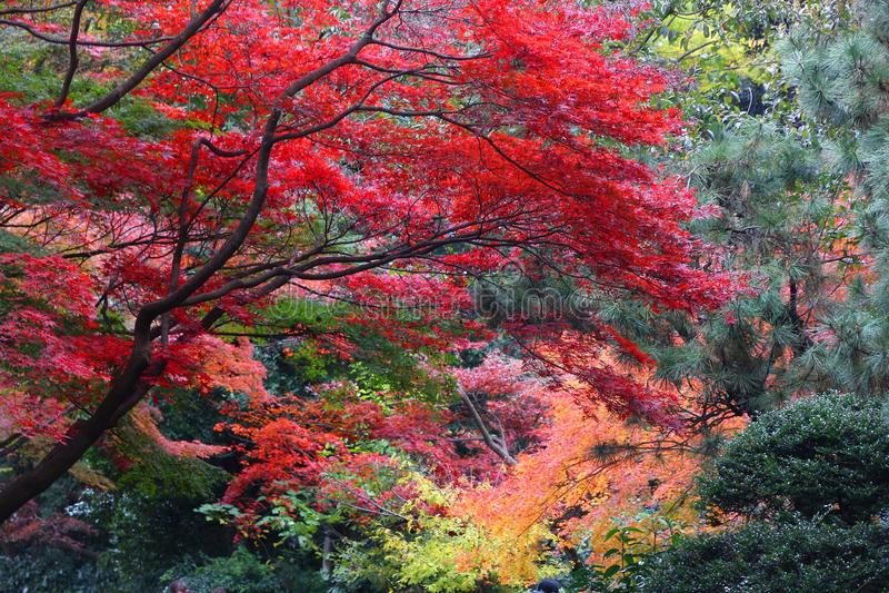 Shinjuku autumn colors. Autumn leaves in Japan - red momiji leaves (maple tree) in Tokyo Shinjuku Gyoen park royalty free stock photo