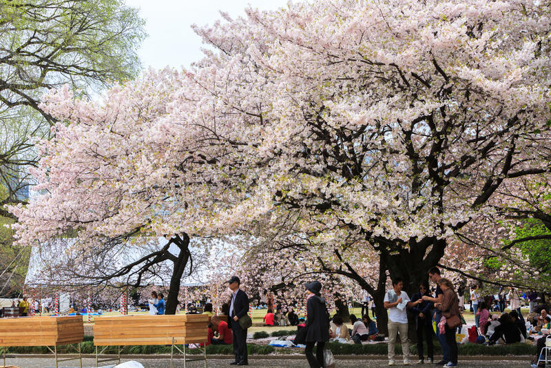 Shinjuku Gyoen National garden in spring season with cherry bl. Tokyo, Japan - April 9, 2016: Shinjuku Gyoen National garden in spring season with cherry blossom stock photo