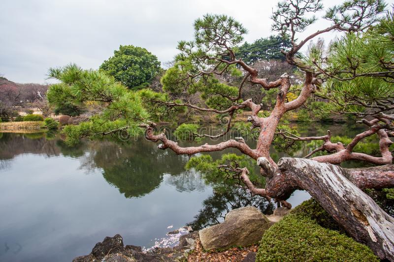 PINE tree in SHINJUKU Park. In Shinjuku Park Tokyo . And pond. In Tokyo thereare several very attractive gardens . This is one of them stock photography