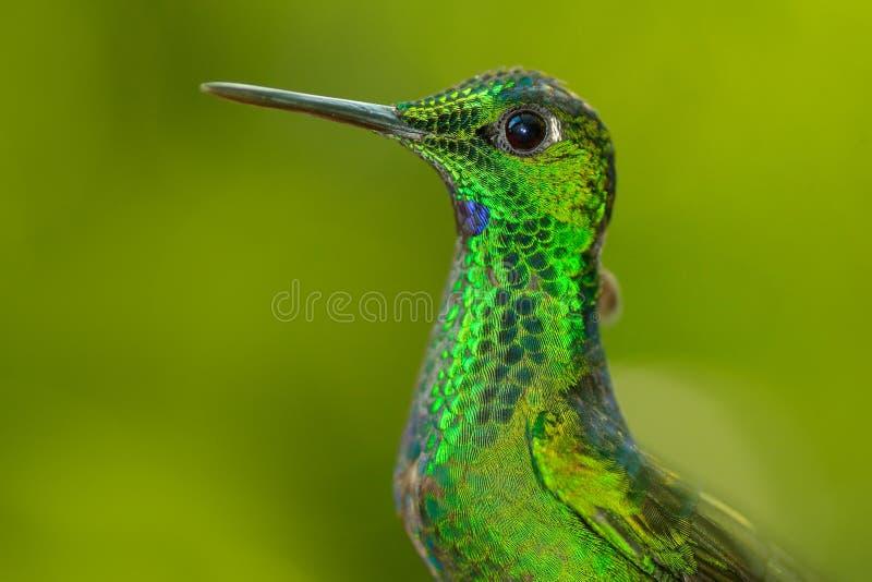 shinne绿色光滑的鸟细节画象  与发光的鸟的美好的场面 绿色蜂鸟绿色被加冠的精采, Heliodoxa 免版税库存照片