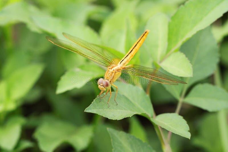 Shinny den guld- drakeflugan fotografering för bildbyråer